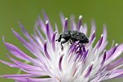 The Knapweed Weevil was released to control the spread of the invasive Knapweed.